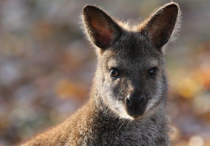 Brettener Tierpark sucht weiterhin: Wo sind die ausgebüxten Kängurus?